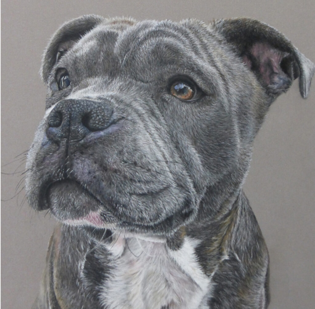 Grey Staffordshire Bull Terrier looking to the left