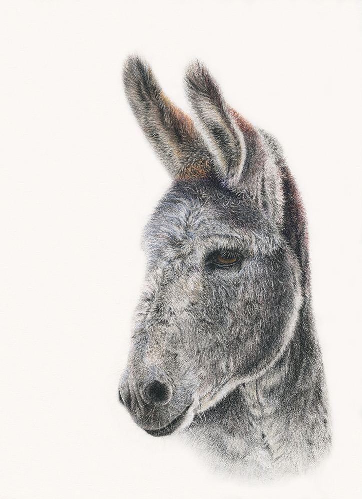 Donkey close up coloured pencil drawing