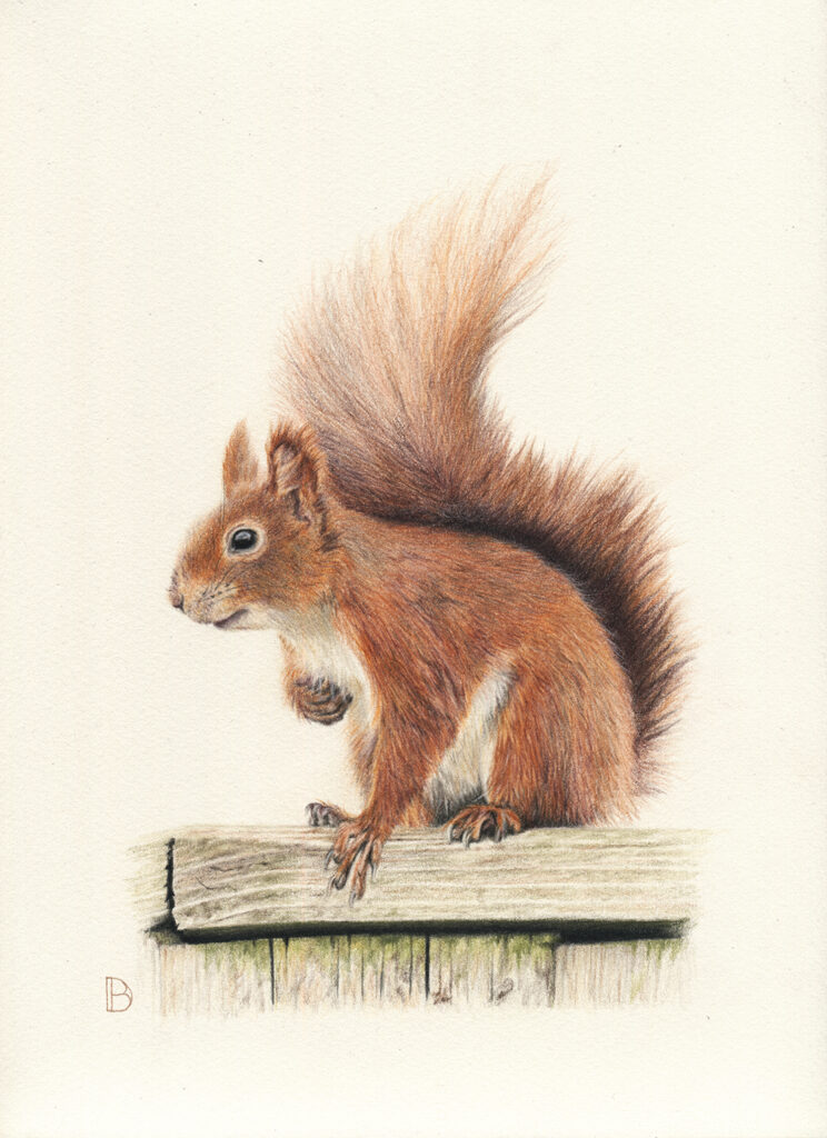 Squirrel on fence coloured pencil drawing
