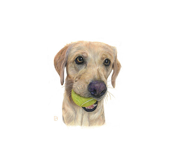 Young labrador with tennis ball in her mouth