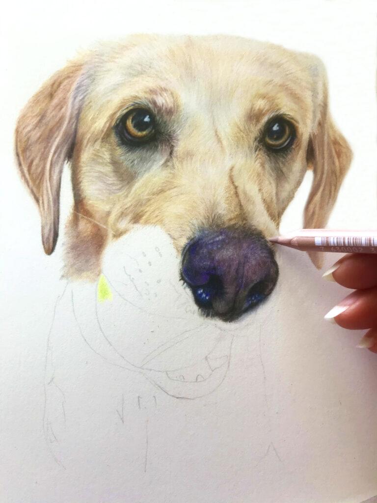 Labrador coloured pencil pet portrait drawing