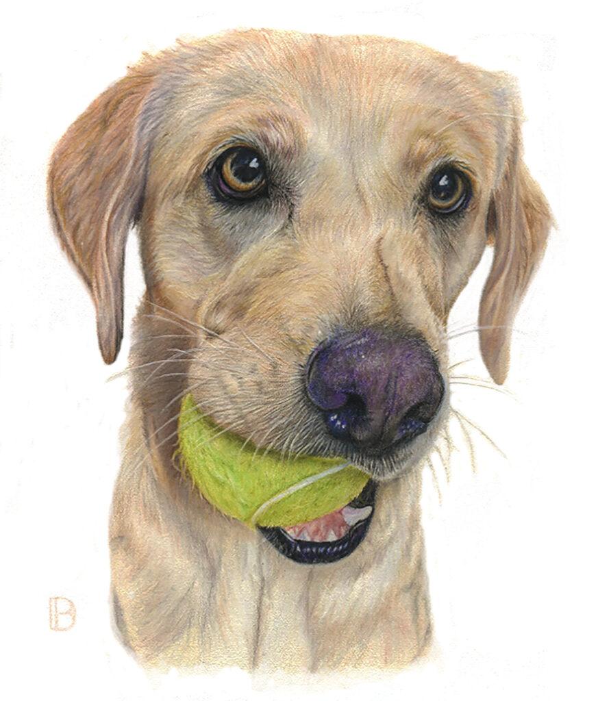 Labrador with ball coloured pencil pet portrait