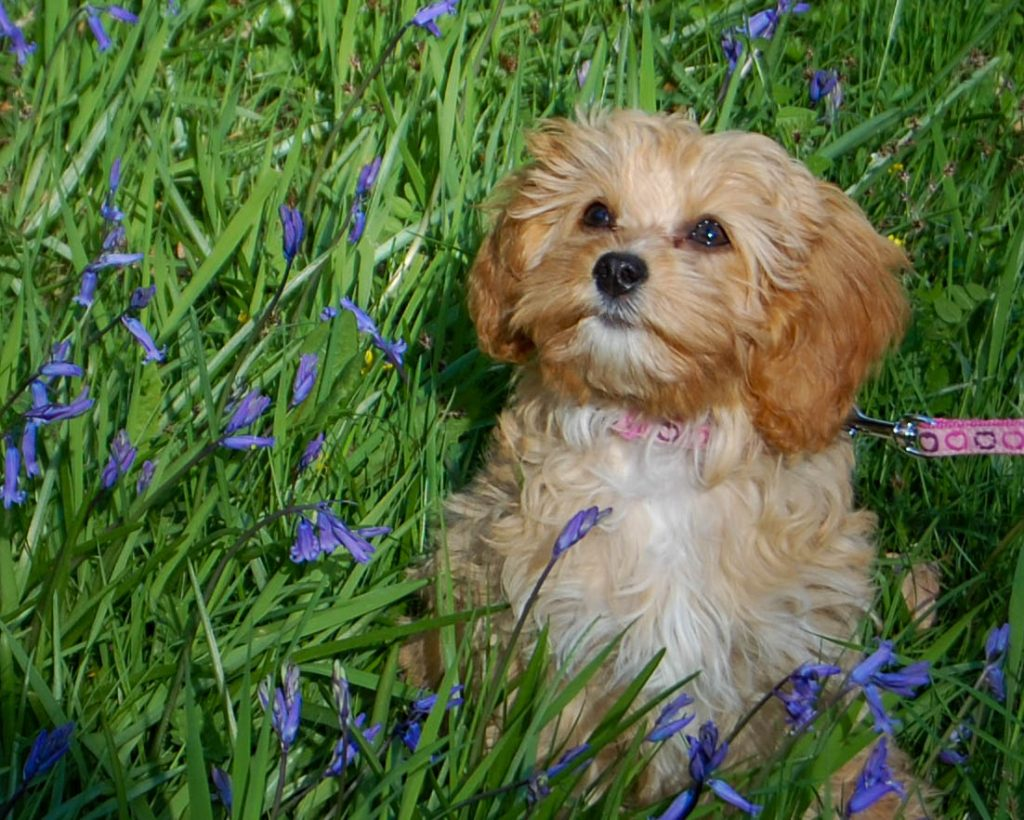 cavapoo puppy sitting in bluebells